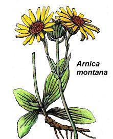 Arnica-montana